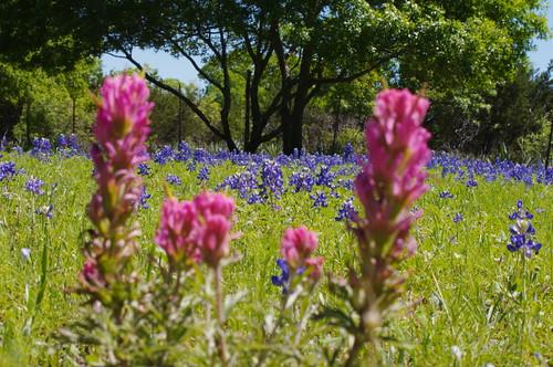 Texas Bluebonnets & 'Brushes!