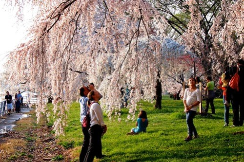 Always Stunning, The Cherry Blossoms