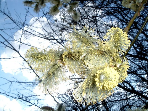 Willow Catkins - March