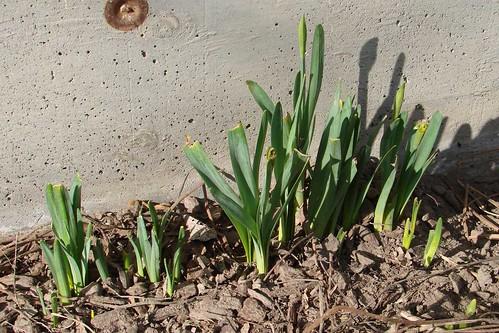 DaffodilsFeb12