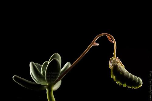 Succulents - wonderful subject ! by Captain Suresh