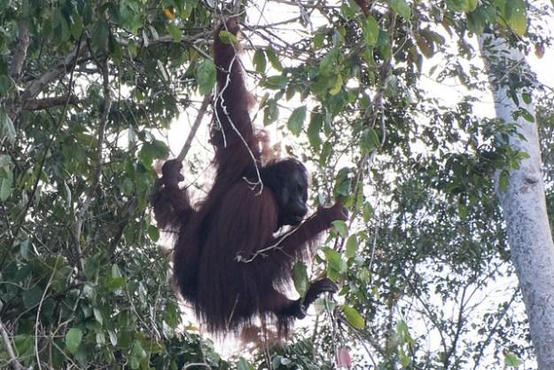 Wild orangutan. Kinabatangan
