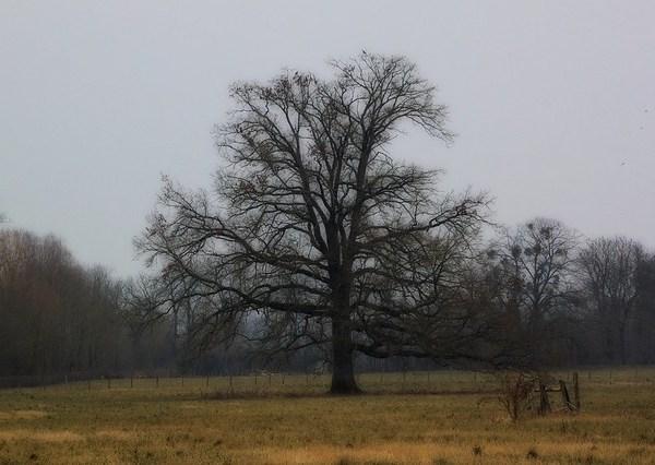 Chêne solitaire