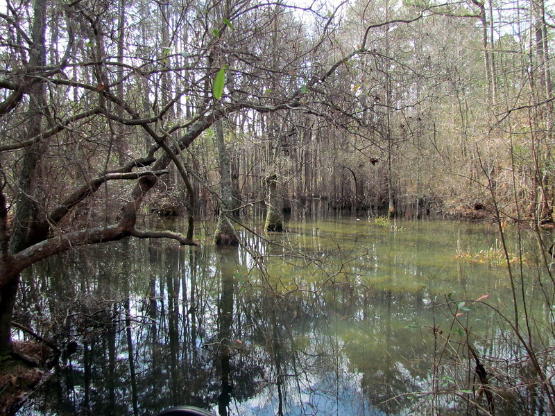 Wetlands Bog Carvers Creek SP NC 5831