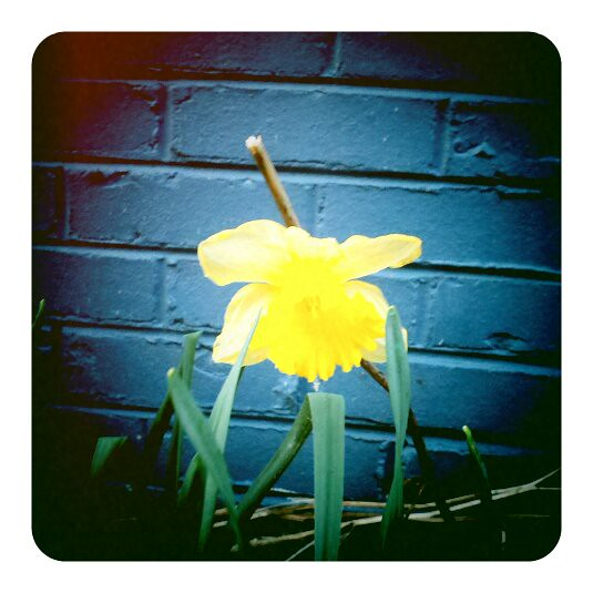 Lonely Little Yellow Daffodil