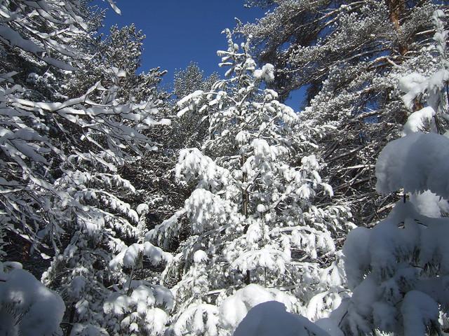 Conifers in Snow