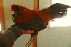Bantam americana rooster.jpg