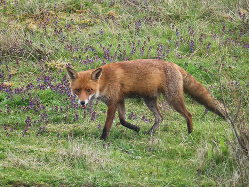 Red Fox stroll_3