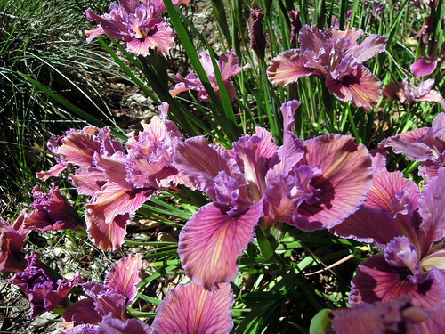 Pacific Coast hybrid iris, Warm Pink
