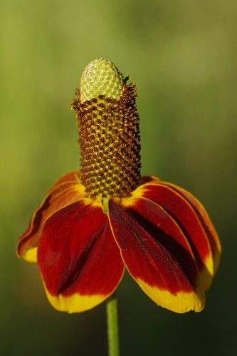 Long-headed Coneflower