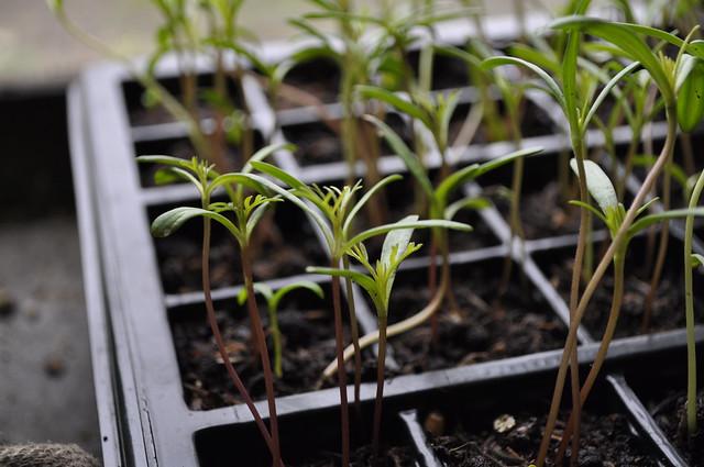 2012-06-10 Seedlings 002
