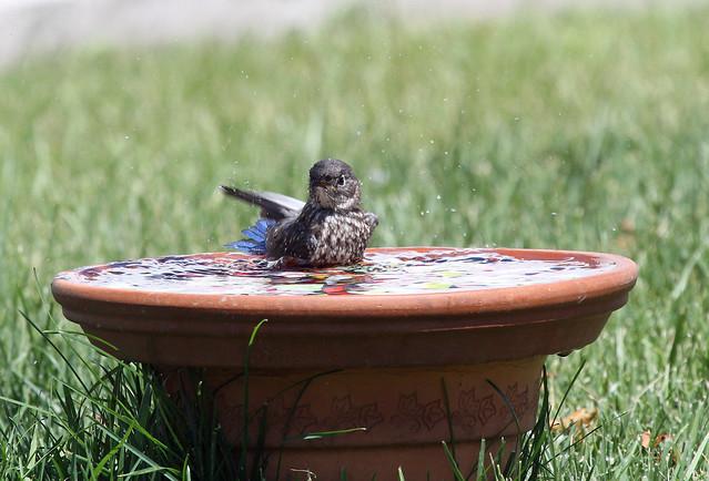 bluebird Baby in the bath