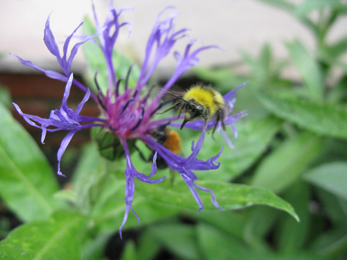 Two species of bee on one flower