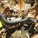 Tallulah Black Snake