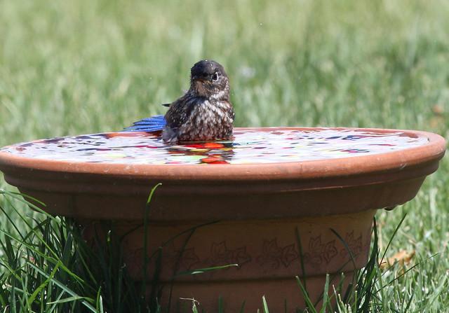 Bluebird Baby taking a bath