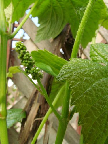 GrapesForming