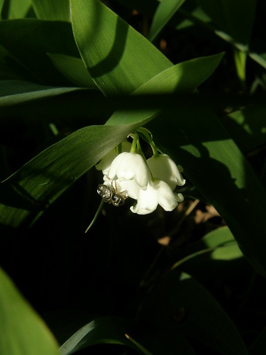 Lily-of-the-valley with spider