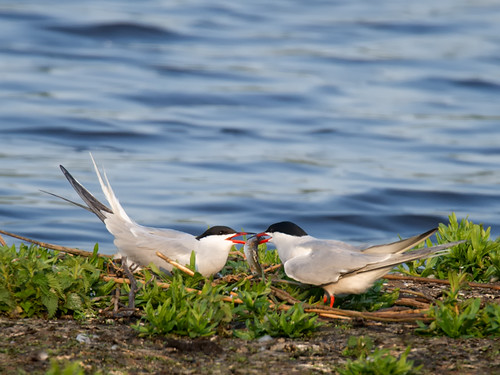 Common Terns-sharing