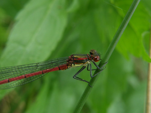 Large Red Damselfly III