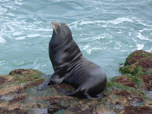CA - SD  3-19-12 050  Bull Seal