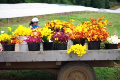 calla lily farm on the Oregon Coast