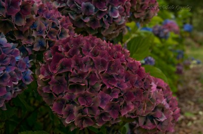 burgundy antique hydrangea