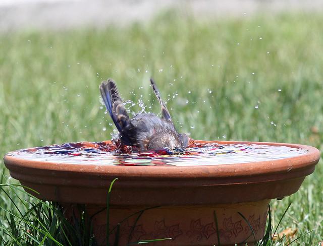 Baby Bluebird bathing