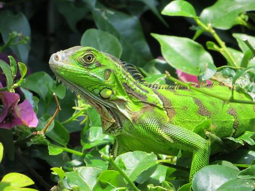 Posing Iguana by webmink