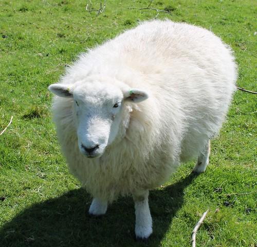 Devon closewool before shearing