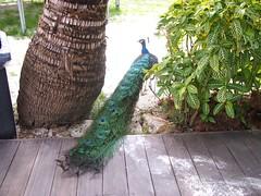 Resident Peacock, Rawa Island