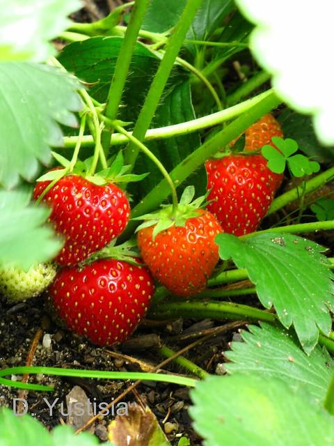 Strawberries plant