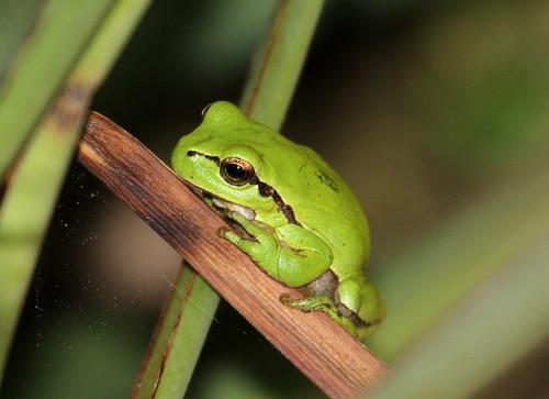 2012_04_24 PB - European Tree Frog (Hyla arborea) 17