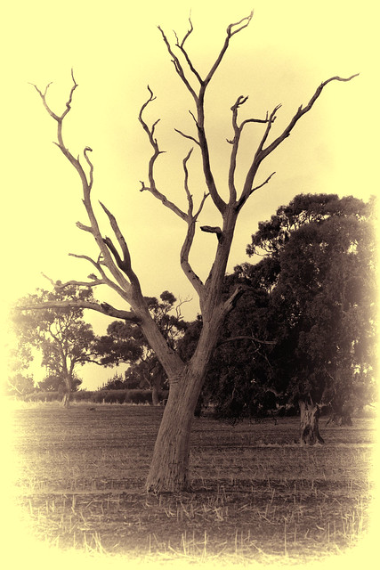 Somerton Road tree (Yellowing Lilac) 2012-06-05 (_MG_8744)