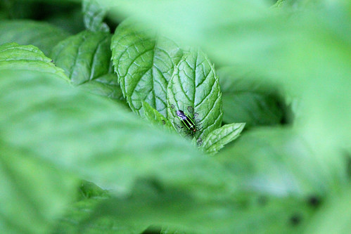 Bug on a Mint Leaf
