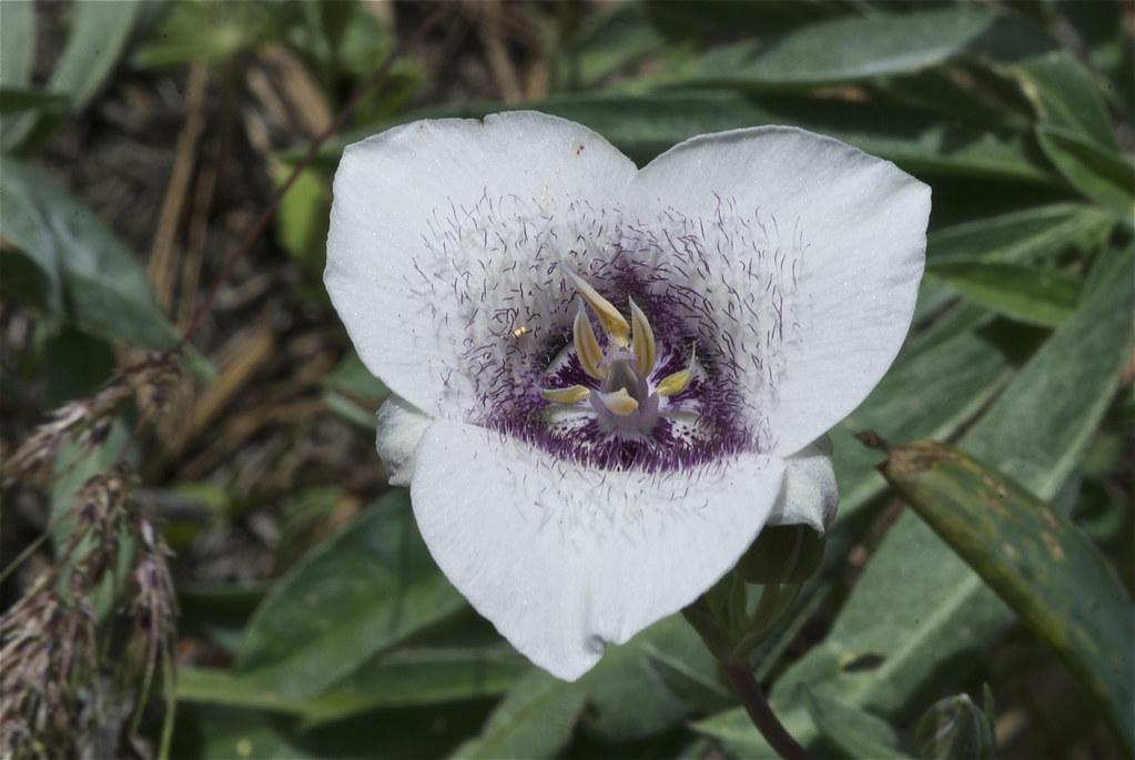 Elegant mariposa lily, Northwerstern mariposa lily, Elegant cat's ear