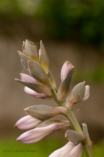 06.16.2012 :: 366/168 ...::... Hosta blossom by Echo9er
