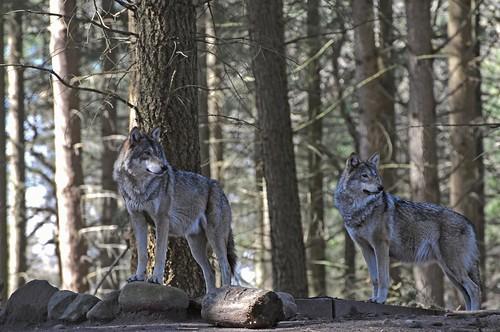Wölfe im Wolfs- und Bärenwald des Zoos in der Wingst