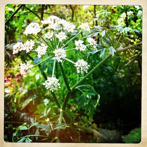 365:143 Cow parsley