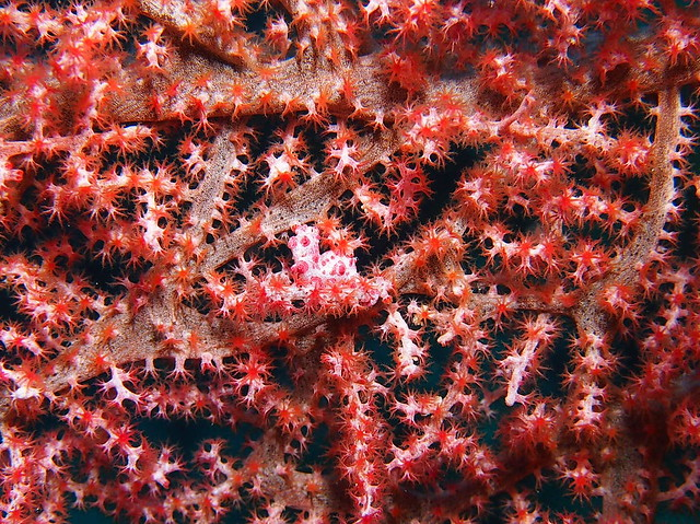 Wakatobi: Pygmy Seahorses (1/5)