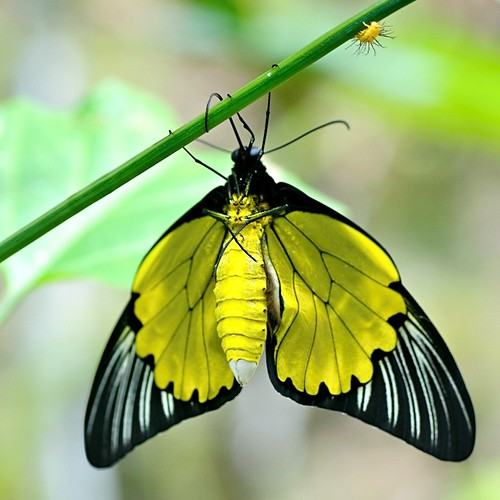 golden birdwing, troides amphrysus.