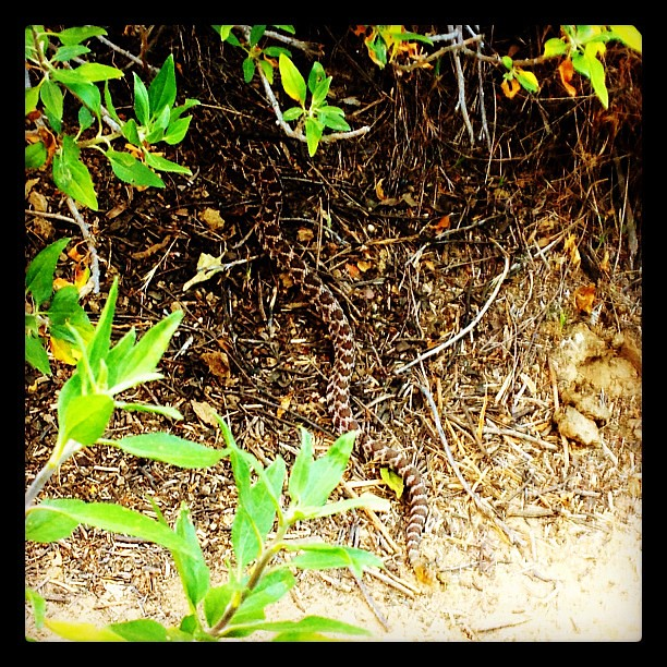 This little #rattlesnake was lying across the narrow path on our late afternoon #hike.