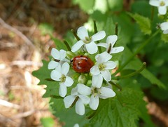Lady bug on garlic mustard