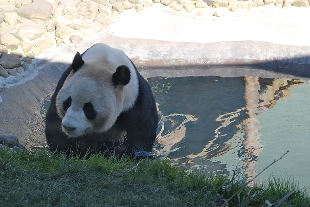 It was really warm. So the panda went for a swim.