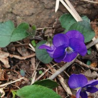 Ozarks Spring Wildflowers: The Violets