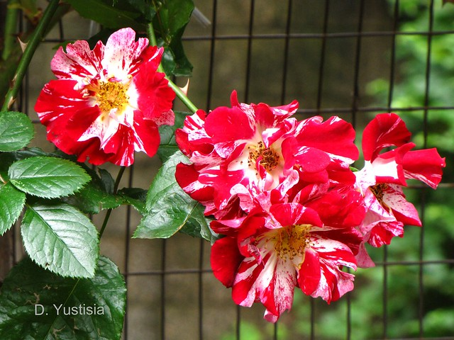 Bi-color Roses