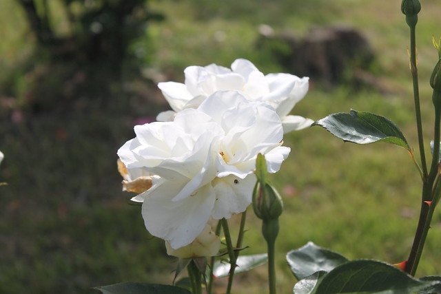 Rosa blanca #Photography #Foto20