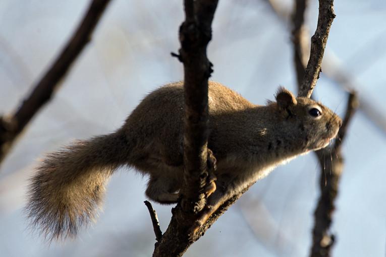 _DSC7828 Red Squirrel