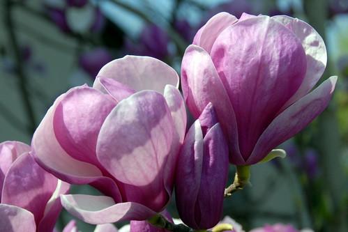 Arbres en fleurs HD-008