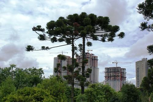 Paraná pine, photo by Ben Tavener