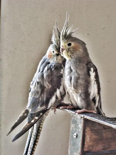 201003160031_parakeets